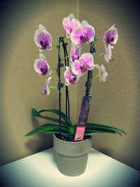 Alice Adventures Orchidee Phalaenopsis