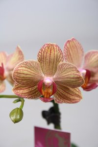 Alice Adventures Phalaenopsis - Fortuna Buda