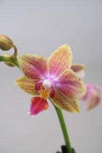 Alice Adventures Phalaenopsis - Gold Tris oranje