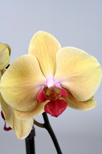 Alice Adventures Phalaenopsis - Golden Beauty