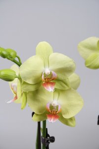 Alice Adventures Phalaenopsis - Green Crystal