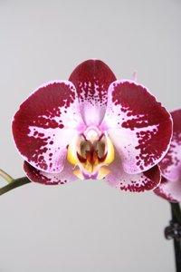 Alice Adventures Phalaenopsis - Jubao Fairy