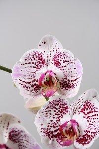 Alice Adventures Phalaenopsis - MagPie