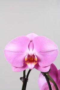 Alice Adventures Phalaenopsis - Pink Lady
