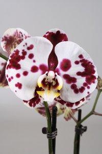 Alice Adventures Phalaenopsis - Polkadot