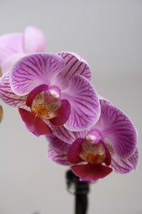 Alice Adventures Phalaenopsis - Sogo Vivian