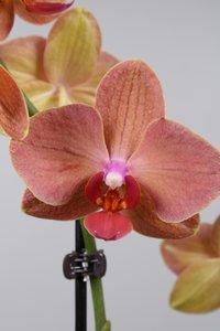 Alice Adventures Phalaenopsis - TL Oranje