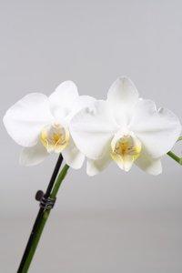 Alice Adventures Phalaenopsis - Tropical Snowball