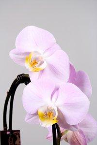 Alice Adventures Phalaenopsis - Licht roze