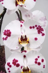Alice Adventures Phalaenopsis - Pepper