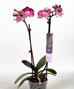 Alice Adventures orchidee 'Ayora'