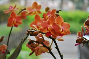 Oranje orchidee Alice Adventures
