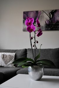 Phalaenopsis orchidee Alice Adventures